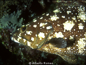 Portrait of a Whiespotted grouper. by Alberto Romeo 